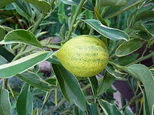 Citrus japonica 'Centennial Variegated' - Kumquat - fruit.jpg